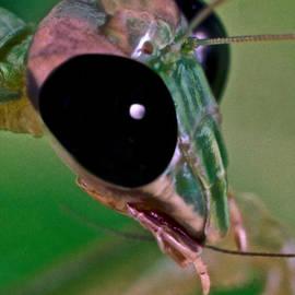 LESLIE CROTTY - Chinese Mantis Macro Close UP #1