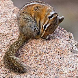 Chipmunk In Rocky Mountain National Park by Fred Stearns