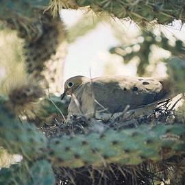 Cholla Dove by Cheryl Fecht
