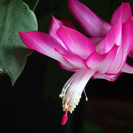 Christmas Cactus November 2014 1 by Mary Bedy