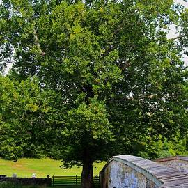 Patti Whitten - Civil War Era Eastern Sycamore Tree