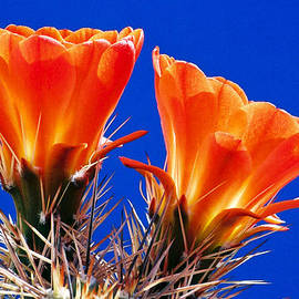 Claret Cup On Blue by Douglas Taylor