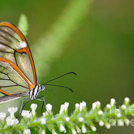 Clearwing Butterfly Greta oto by Oscar Gutierrez