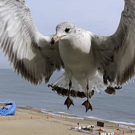 Closeup Of Hovering Seagull by Rick Rosenshein