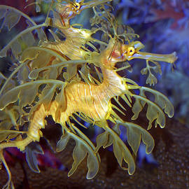 Colorful Leafy Sea Dragons by Donna Proctor