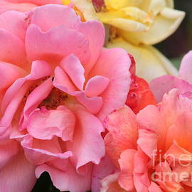 Colorful Roses by Carol Groenen
