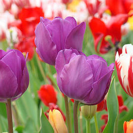 Baslee Troutman - Colorful Spring Tulips Garden Art Prints