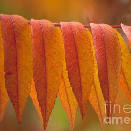 Heiko Koehrer-Wagner - Colorful Sumac foliage in fall