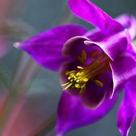 Columbine Abstract by Katherine White