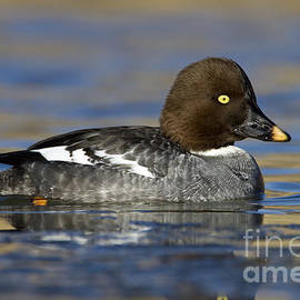 Common Goldeneye hen by Bryan Keil