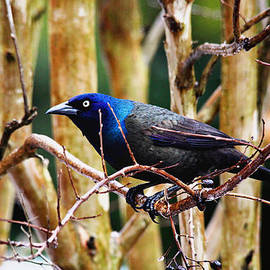 Common Grackle by Trina  Ansel