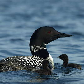 James Peterson - Common Loon Family