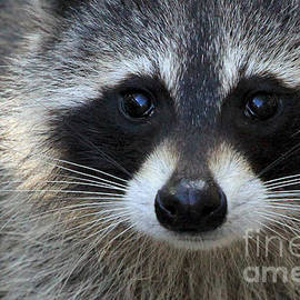 Meg Rousher - Common Raccoon