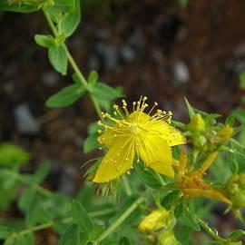 Jill Edwards - Common St. Johnswort or Hypericum perforatum