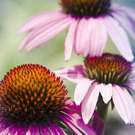 Coneflower Jewel Tones - Echinacea by Sharon Mau