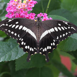 Judy Whitton - Constantines Swallowtail