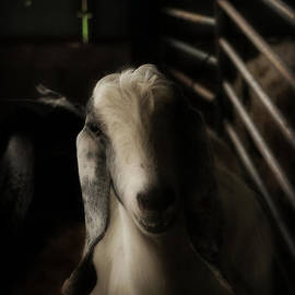 Doc Braham - Contemporary Goat I