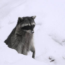 Kym Backland - Coon Needs Snowshoes