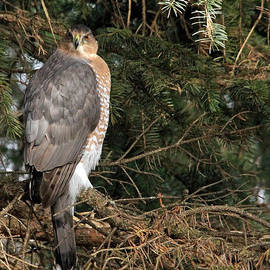 Coopers Hawk In Predator Mode by Debbie Oppermann