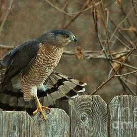 Coopers Hawk by Joy Bradley