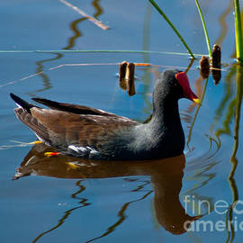 Common Gallinule by Stephen Whalen