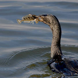Cormorant with Fish by Betty Depee