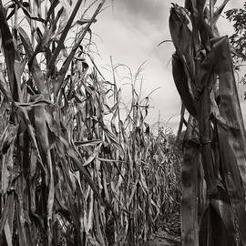 Corn Maze - Sepia by Linda Shafer