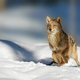 Lloyd Alexander - Coyote GO GO GO