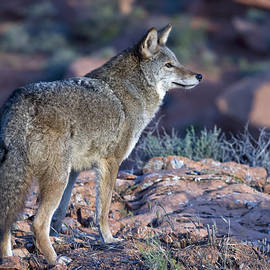 Coyote in the Southwest US