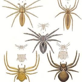 Crab Spiders by Biodiversity Heritage Library