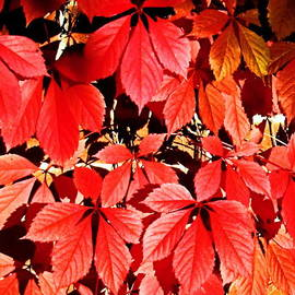 Crimson Virginia Creeper 2 by Danielle  Parent