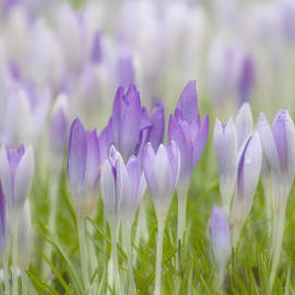 Crocus by Claudia Moeckel