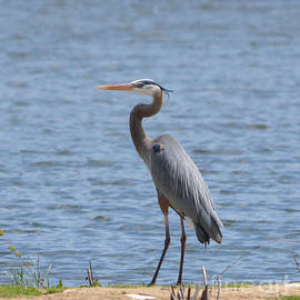 Crook Neck Heron by Ruth  Housley