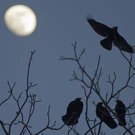 Tom Bushey - Crows and the moon