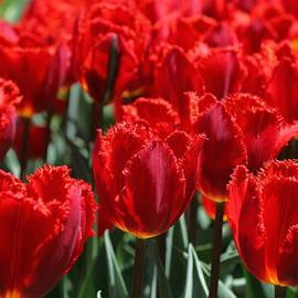 Allen Beatty - Crystal Beauty Tulip