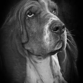 Cute Overload - The Basset Hound by Christine Till