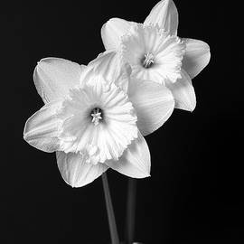 Jennie Marie Schell - Daffodil Flowers Black and White