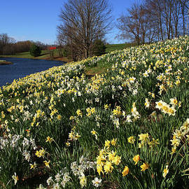 Daffodil Hill by Karol Livote