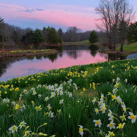 Daffodil Sunset Square by Bill Wakeley