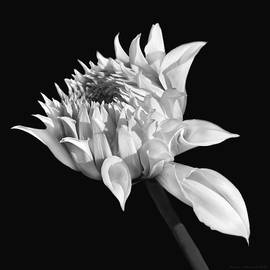 Jennie Marie Schell - Dahlia Flower Blooming Black and White