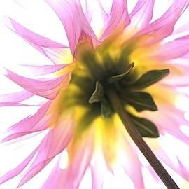 Joy Watson - Dahlia Flower