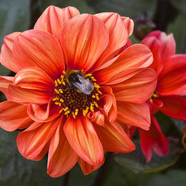 Dahlia with Bee by Venetia Featherstone-Witty
