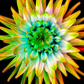 Dahlia-Yellow by Paul Chessell