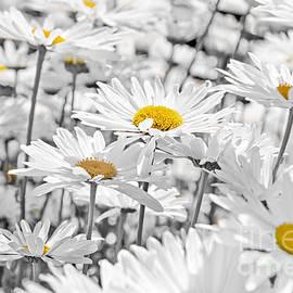 Daisies in garden 2 by Elena Elisseeva