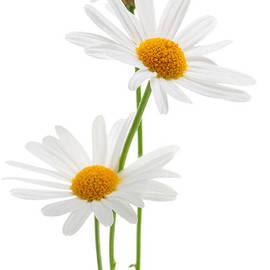 Daisies on white background by Elena Elisseeva