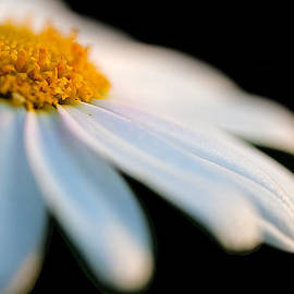 Daisy on black by Antonio J Pizarro