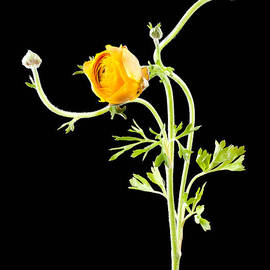 Dancing Ranunculus II by Zina Zinchik
