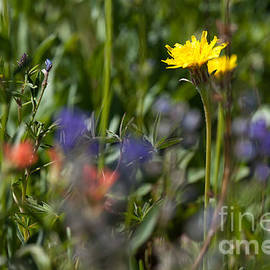 Dandelion And Wildflowers by Cindy Singleton