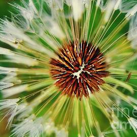 Dandelion Dreams by Peggy Franz