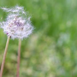 James Drake - Dandelion Seed Ball